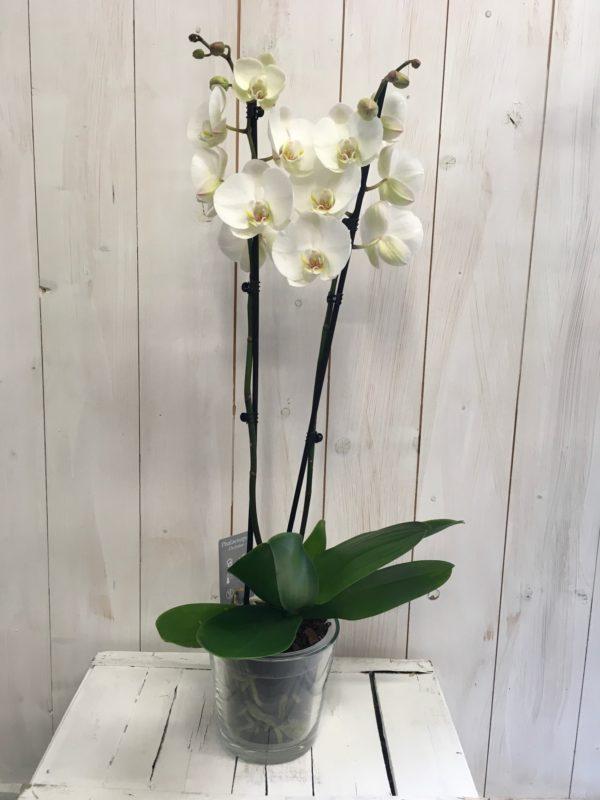 Orchidea phalaenopsis bianc