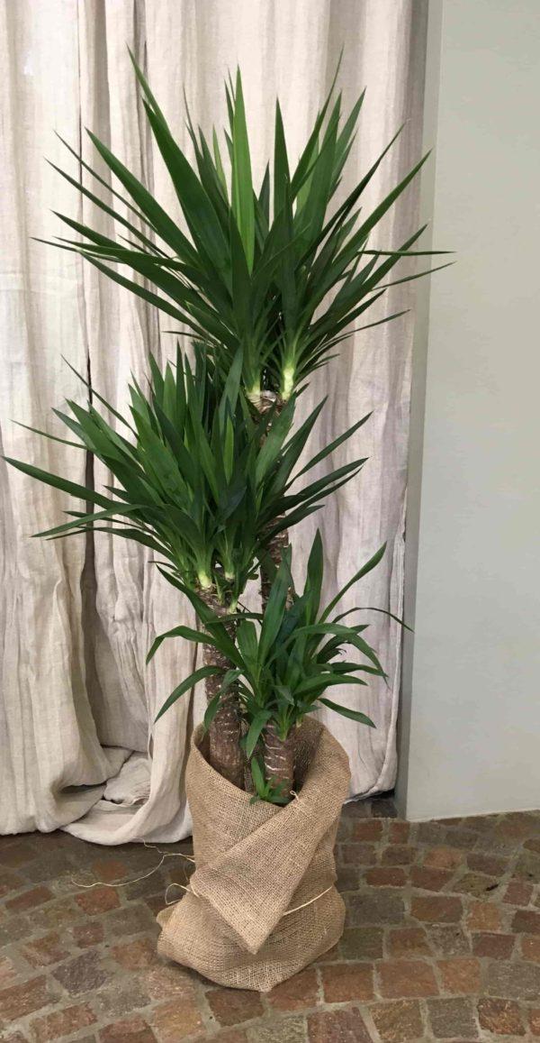 Yucca_fiorista_Cilloni