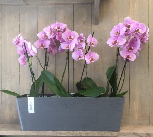 Vaso con orchidee